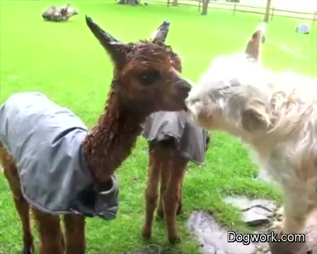 Baby Alpaca and Dog Kissing