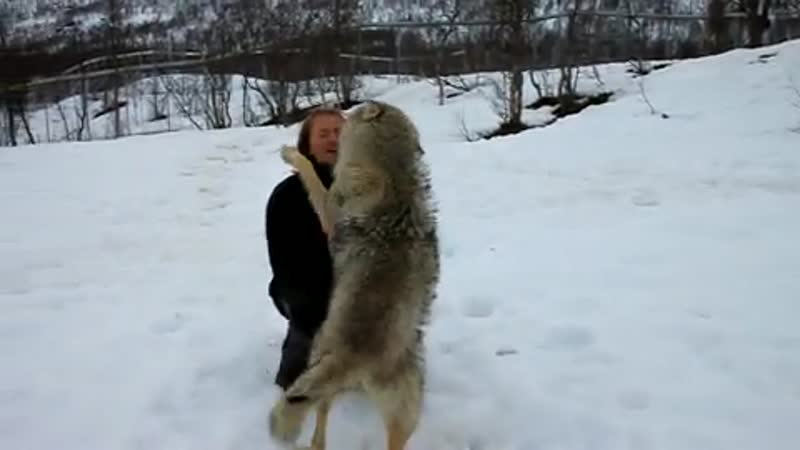 Socializing With Rescued Wolves