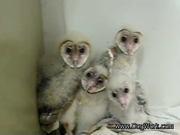 Cutest Baby Barn Owls