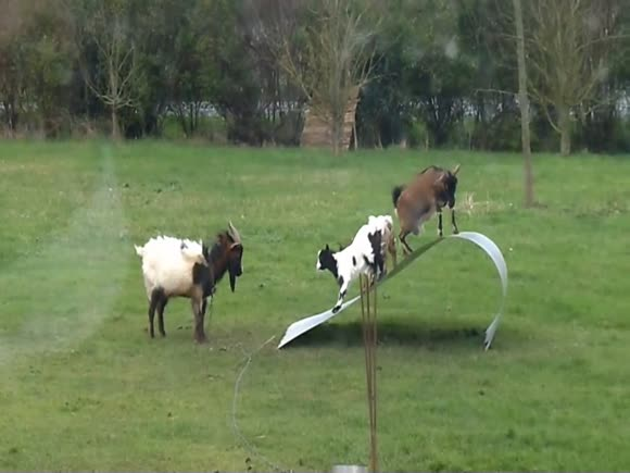 Goats Balancing on Flexible Steel Ribbon