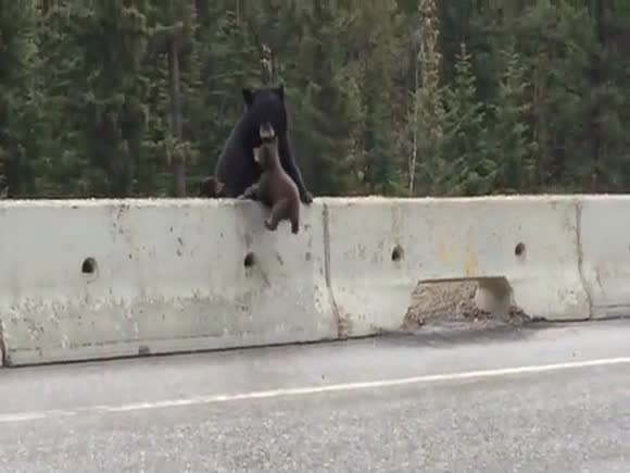 Mother Bear Rescues Baby Bear from Highway