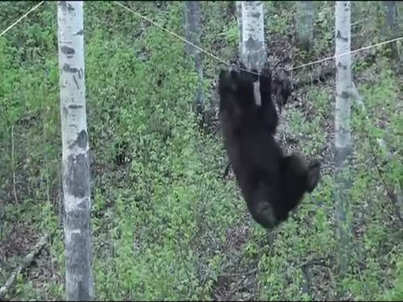Black Bear Attempts to Climb Rope