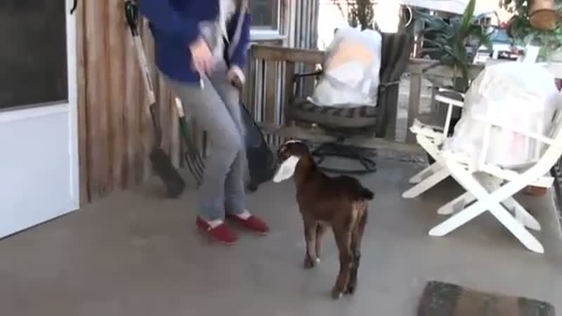 Baby Goat Learning How To Jump