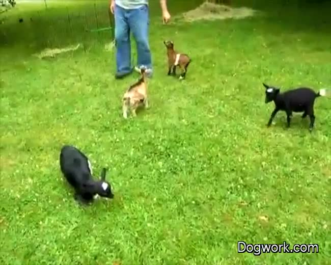 Buttermilk, a mischievous five-week-old goat plays with her friends