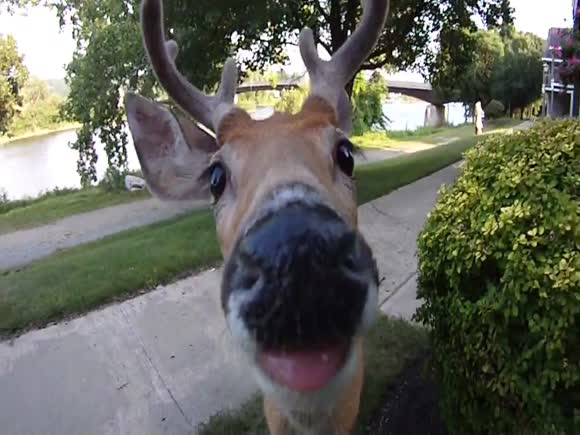 Deer Walks Up and Licks the Lens of My Camera