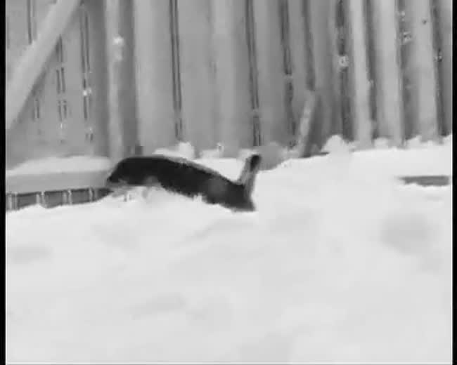 Chihuahua dog loves snow