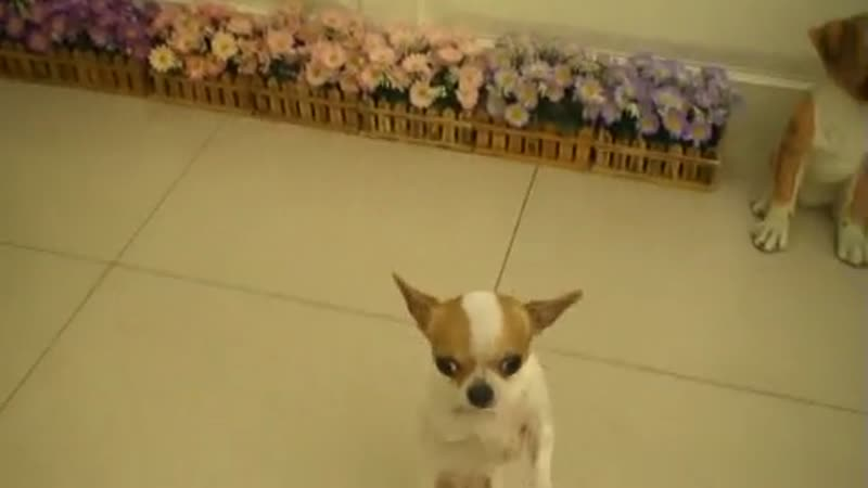 Chihuahua dog knows tricks