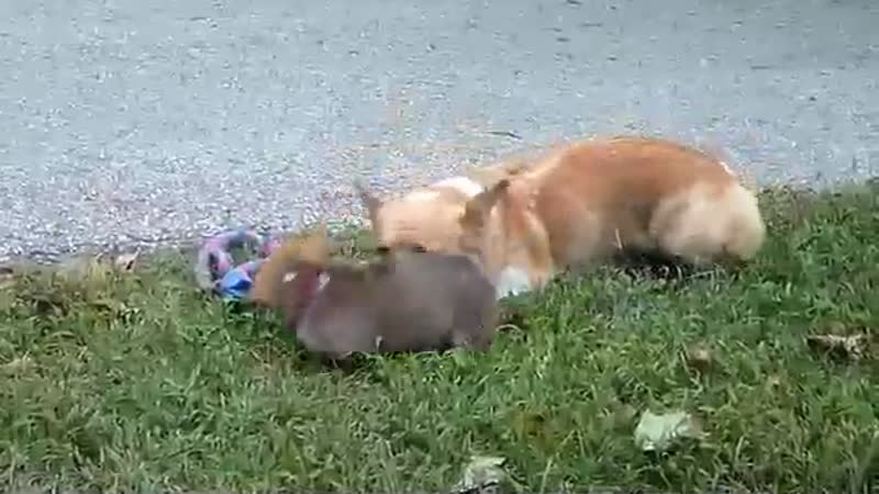 Corgi dog mom plays with her kids