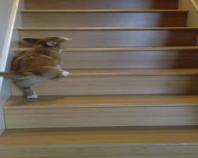 Corgi dog vs Stairs