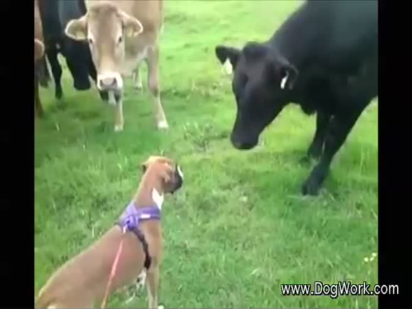 A Dog Communicates with a Herd of Cows