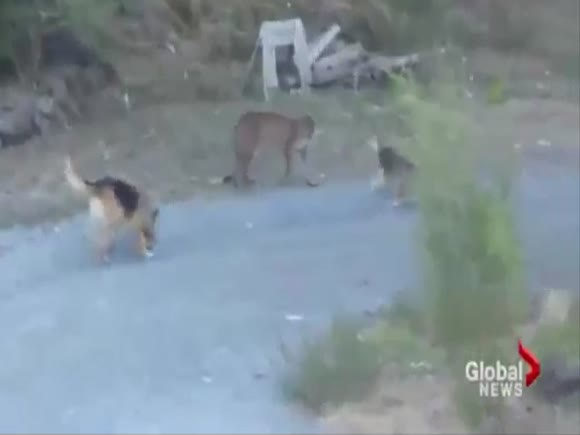 Two Dogs Chase Away a Cougar