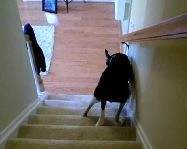 Greyhound goes up the stairs  Backwards!