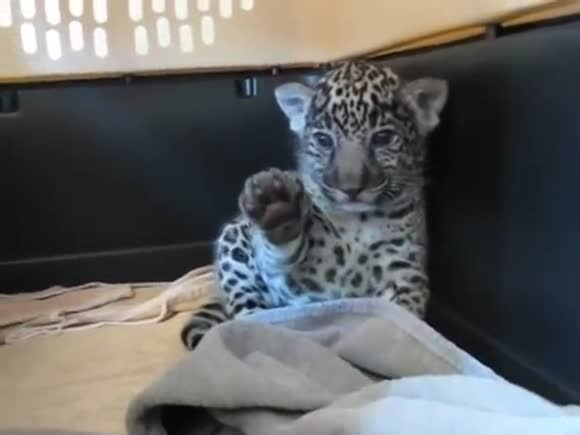 Jaguar Cub Waves His Paw