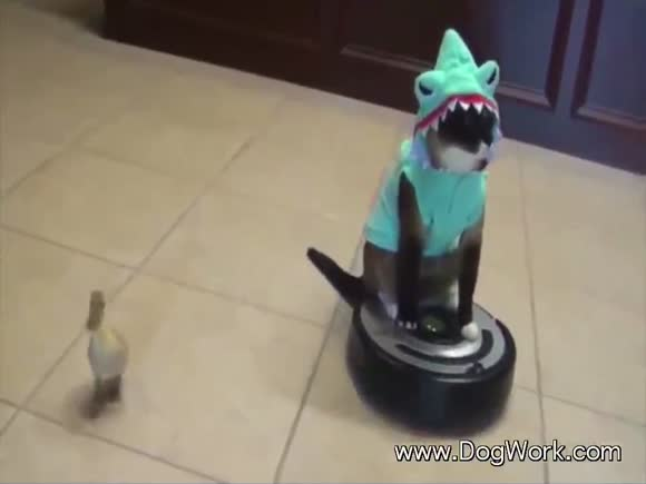 The Cat Shark Runs The Show on His Roomba Throne; Duck Follows