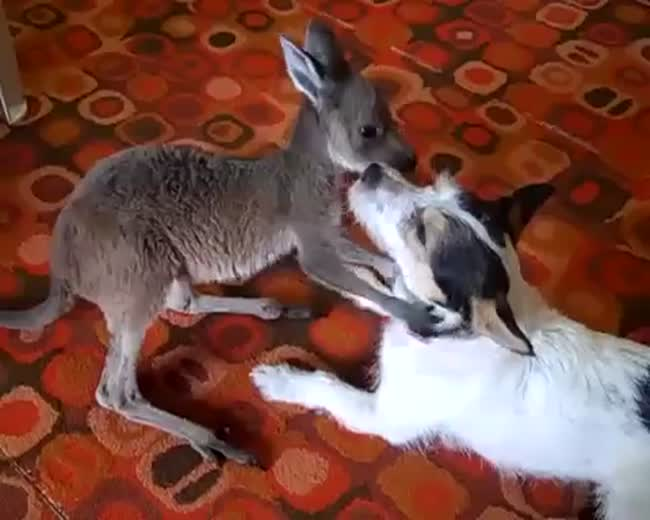 Dog and baby kangaroo are best friends