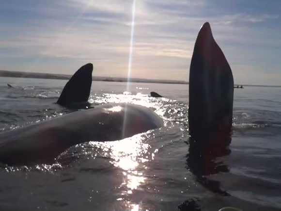 Whale Lifts Kayakers Out of Water