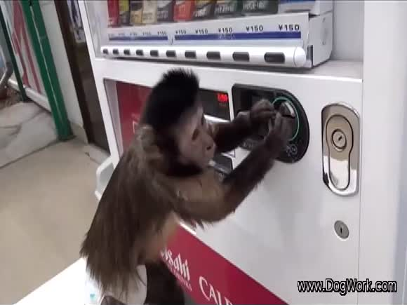 Smart Monkey Buys Drink From Vending Machine - Monkey knows how to operate vending machine
