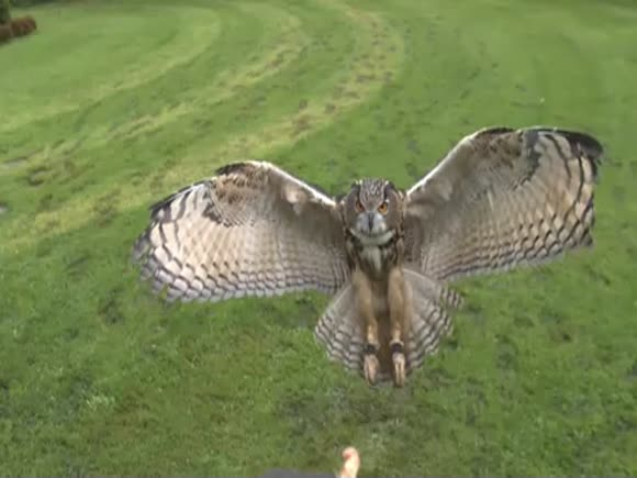 An Eagle Owl soaring through the trees and belying the majesty of nature - DogWork.com