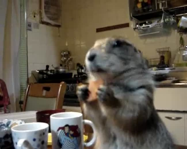 Prairie Dog Eating a cookie and listening to some tunes