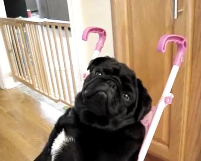 A dog falling asleep in a doll stroller