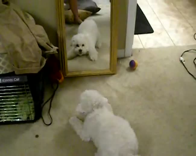 Puppy Vs The Mirror