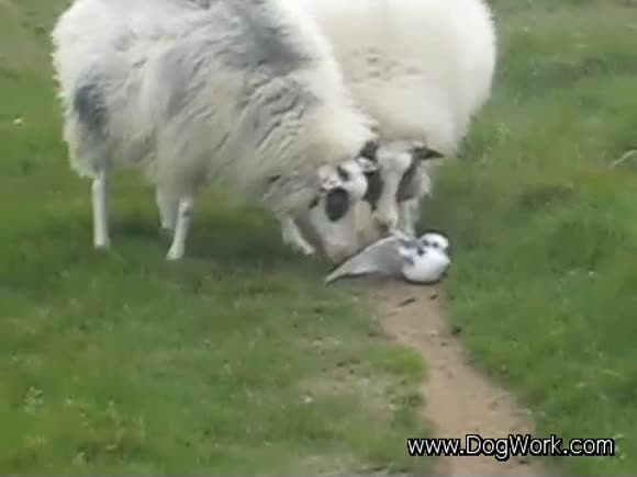 Sheep Help Injured Bird